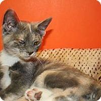 Adopt A Pet :: CAROLINA - SILVER SPRING, MD
