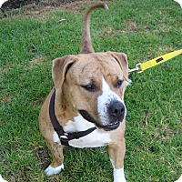 American Pit Bull Terrier Mix Dog for adoption in Carpinteria, California - Tigre