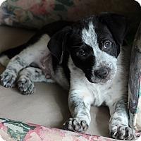 Adopt A Pet :: BAXTER - Nampa, ID