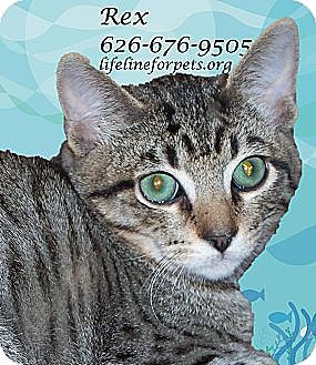 Domestic Shorthair Cat for adoption in Monrovia, California - REX - Rad!