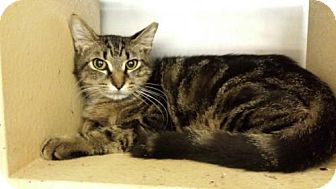 Domestic Shorthair Cat for adoption in Oviedo, Florida - Tom Cat