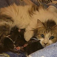 Domestic Mediumhair Cat for adoption in Los Angeles, California - Mama Earp