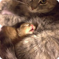 Adopt A Pet :: Stella - Muskegon, MI