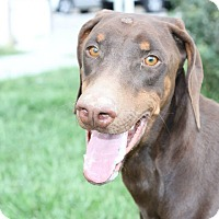 Doberman Pinscher Mix Dog for adoption in Las Vegas, Nevada - Jordan