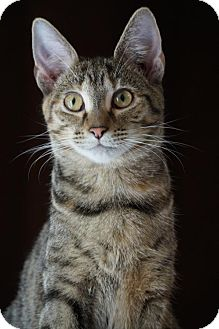 Domestic Shorthair Cat for adoption in Philadelphia, Pennsylvania - Ashlyn
