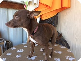 Chihuahua Mix Puppy for adoption in Elk Grove, California - VIOLET