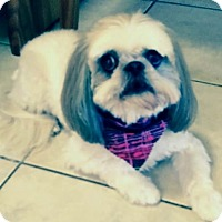 Shih Tzu Dog for adoption in Jacksonville, Florida - Zada