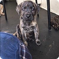 Adopt A Pet :: Paula - MIAMI, FL