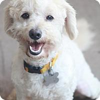 Adopt A Pet :: Palomino - Woonsocket, RI