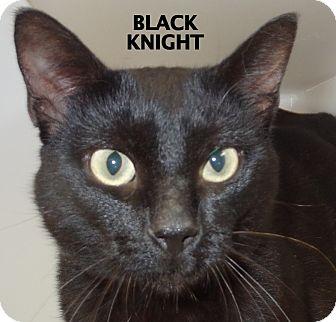 Domestic Shorthair Cat for adoption in Lapeer, Michigan - Black Night