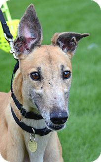 Greyhound Dog for adoption in Minneapolis, Minnesota - Wendy