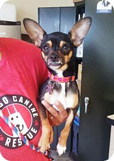 Chihuahua Mix Dog for adoption in Chicago, Illinois - Elsa 5