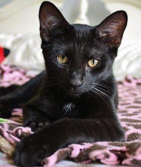 Domestic Shorthair Kitten for adoption in Centerville, Georgia - Fendi