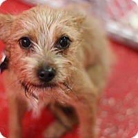 Cairn Terrier Mix Puppy for adoption in Phoenix, Arizona - TOBY