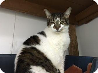 Domestic Shorthair Cat for adoption in Diamond Springs, California - Jasmine