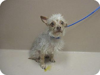 Yorkie, Yorkshire Terrier Mix Dog for adoption in Reno, Nevada - Coque