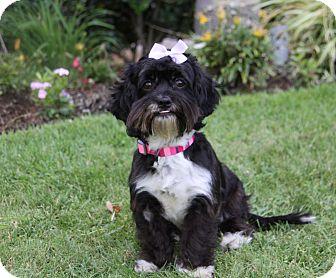 Shih Tzu/Maltese Mix Dog for adoption in Newport Beach, California - NICOLETTE
