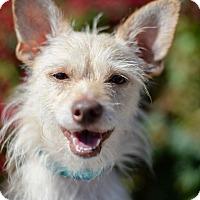 Adopt A Pet :: Knuckles - Encino, CA