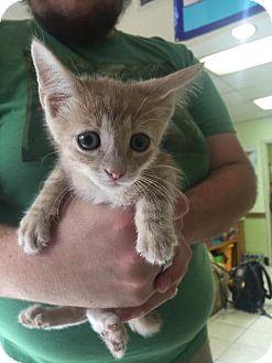 Domestic Shorthair Kitten for adoption in Fort Worth, Texas - Hemi