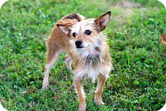 Terrier (Unknown Type, Medium) Mix Dog for adoption in Spring Valley, New York - BASIL