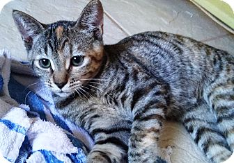 Domestic Shorthair Cat for adoption in Riverside, California - Dory
