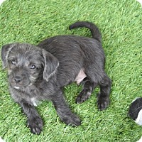 Terrier (Unknown Type, Small)/Poodle (Miniature) Mix Puppy for adoption in Temecula, California - Sid