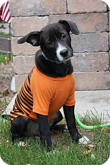 Labrador Retriever/Bulldog Mix Dog for adoption in New Oxford, Pennsylvania - Lucy Lou
