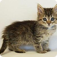 Domestic Mediumhair Kitten for adoption in Toccoa, Georgia - Bo Bo