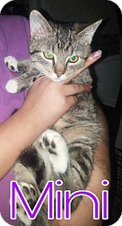 Domestic Shorthair Kitten for adoption in Union City, Tennessee - Mini
