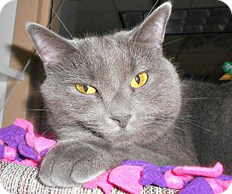Domestic Shorthair Cat for adoption in Chesapeake, Virginia - Greycie