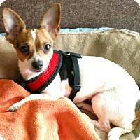 Adopt A Pet :: Willa - Boulder, CO