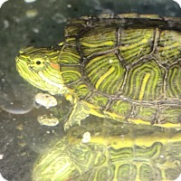 Adopt A Pet :: Baby red ear slider - Spring Branch, TX