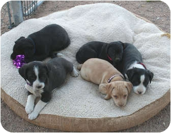Labrador Retriever Mix Puppy for adoption in Scottsdale, Arizona - Missy's puppies
