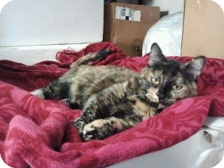 Domestic Shorthair Cat for adoption in Colorado Springs, Colorado - LilBit