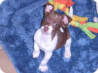 "Jack Russell Terrier Mix Puppy for adoption in New Castle, Pennsylvania - "" Toby """