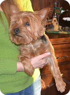 yorkie for adoption in nc will adopted dog greensboro nc yorkie yorkshire 5094