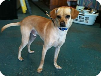 Italian Greyhound/Terrier (Unknown Type, Small) Mix Dog for adoption in Phoenix, Arizona - Sammy