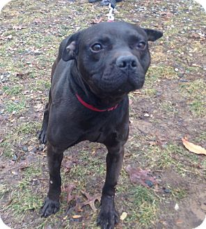 pug and pitbull mix quantum adopted dog 463xxxurgent bloomfield ct 163