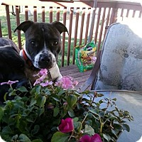Jack Russell Terrier/American Staffordshire Terrier Mix Dog for adoption in Whitestone, New York - Pumpkin