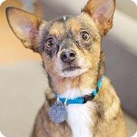 Adopt A Pet :: Scotchie - Knoxville, TN