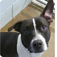 Adopt A Pet :: Paco - Springdale, AR