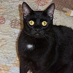 Photo 4 - Domestic Shorthair Kitten for adoption in Silver Lake, Wisconsin - Lizzy