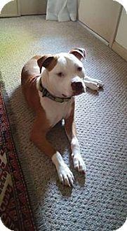 American Staffordshire Terrier Mix Dog for adoption in LaGrange, Kentucky - Sammy