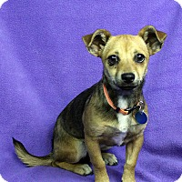 Adopt A Pet :: Lisette - Westminster, CO