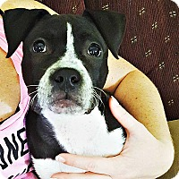 Adopt A Pet :: Millie - Indianapolis, IN