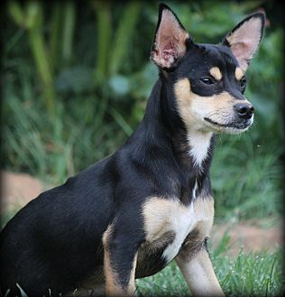 Corgi/Chihuahua Mix Puppy for adoption in Greenville, South Carolina - Archie