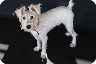 Miniature Schnauzer Mix Puppy for adoption in San Antonio, Texas - Parker