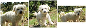 Maltese/Terrier (Unknown Type, Small) Mix Dog for adoption in Forked River, New Jersey - Floyd