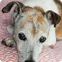 Jack Russell Terrier Dog for adoption in Miami, Florida - Russell