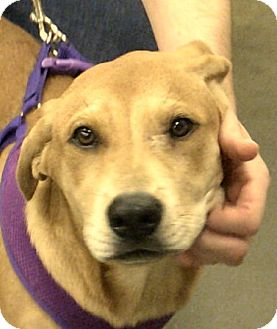 Labrador Retriever Mix Puppy for adoption in Newnan, Georgia - Cinnamon